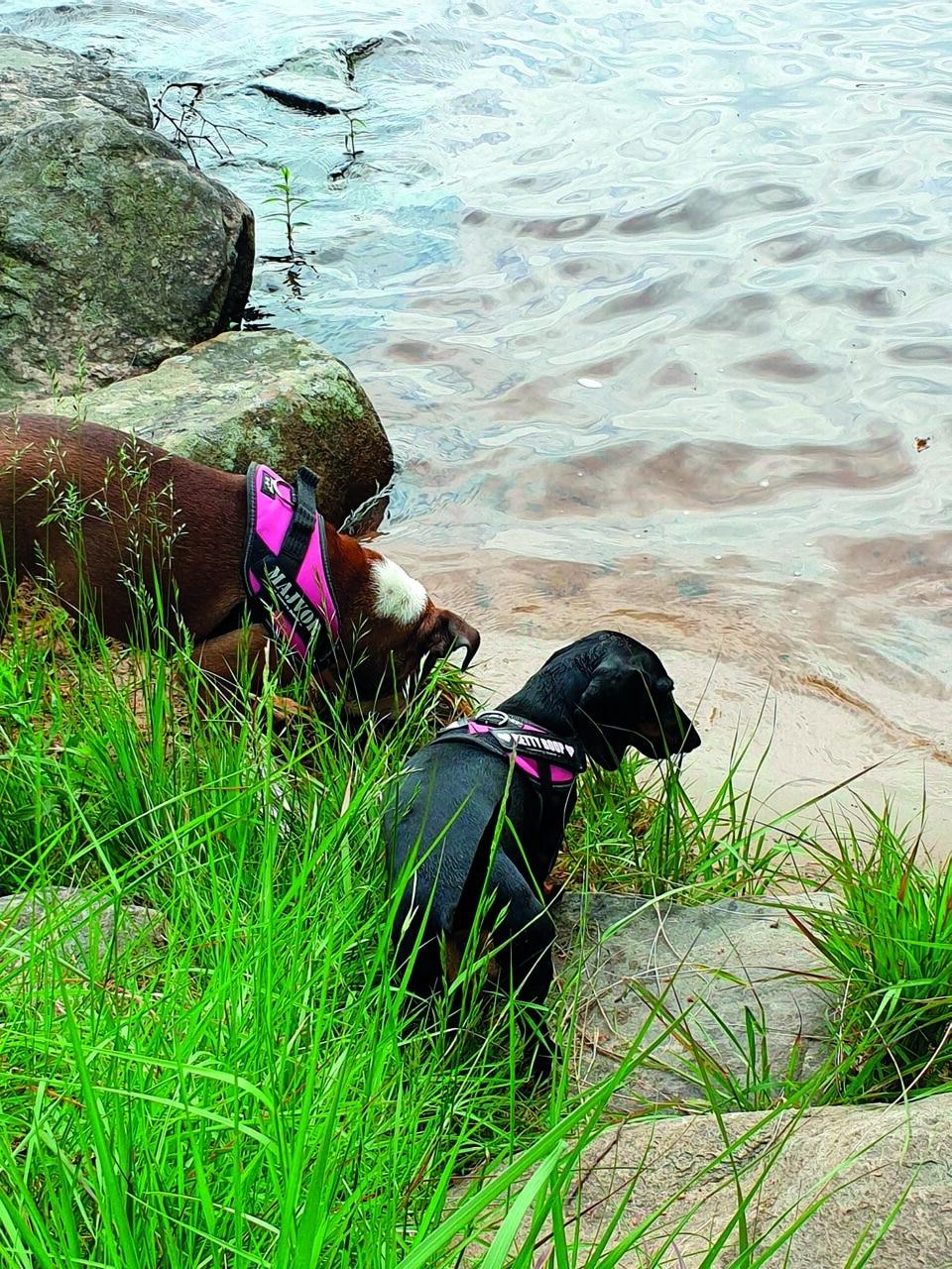 Två hundar vid vatten